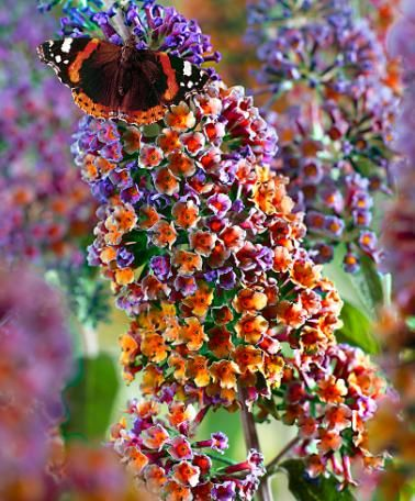 Meerkleurige vlinderstruik | Buddleja davidii 'Flower Power' | Meerkleurig: verbloeit van blauw naar oranje! Vlinderstruik 'Flower Power' bestaat uit een spetterende kleurencombinatie. De knoppen van de bloem zijn blauwviolet en verkleuren tijdens de bloei naar oranje. Deze vlinderstruik variëteit is compactgroeiend en de heerlijjk geurende bloemen worden veel door vlinders bezocht.