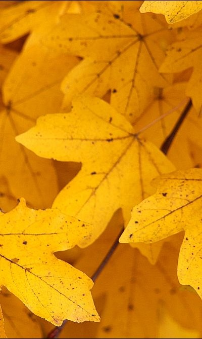 Yellow Maple Leafs