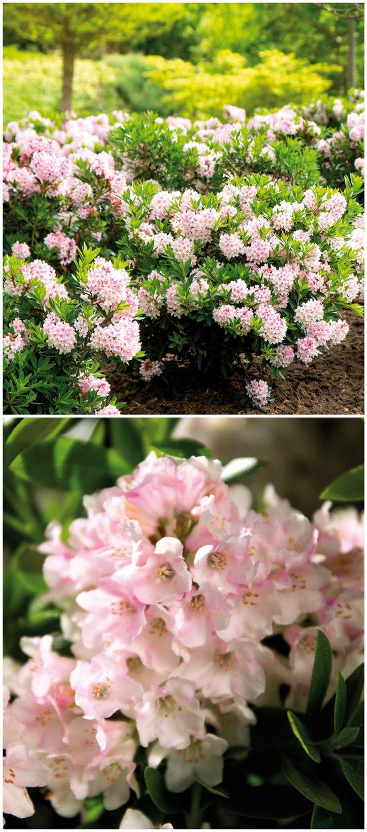 Eine blühende Alternative zum Buchsbaum ist der Rhododendron 'Bloombux'. Ein Traum in einem zarten Rosa. Gefunden auf www.tom-garten.de