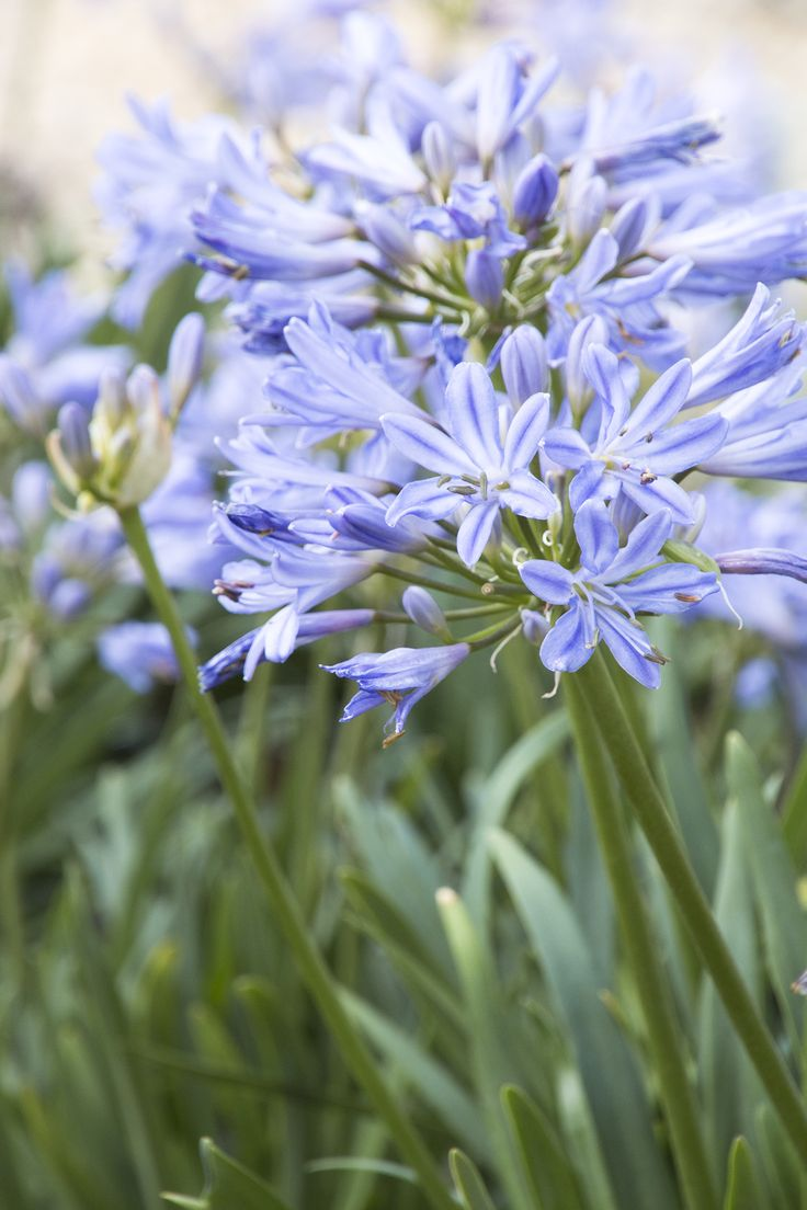 112 best agapanthus images on pinterest flowers plants and gardens baby pete lily of the nile a dwarf compact form with short wide leaves produces masses of blue flowers just above the foliage dhlflorist Images
