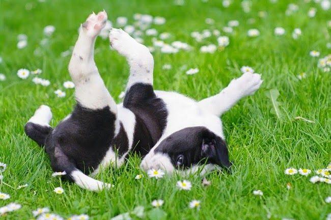 #Psy rasy Boston terrier