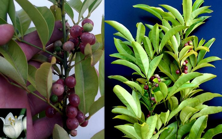 Pink Fruited Lime Berry Glycosmis Trifoliata Seeds
