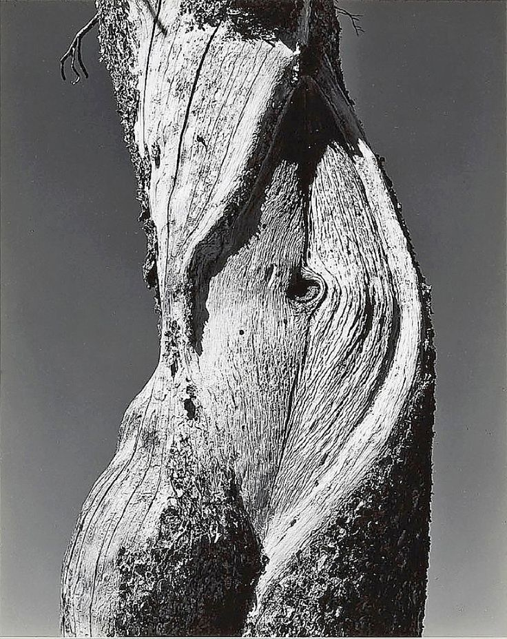 Edward Weston – Pine, Lake Tenaya, Yosemite National Park, 1937