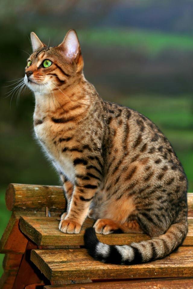 Beautiful Cat looks like my Tigger. cats