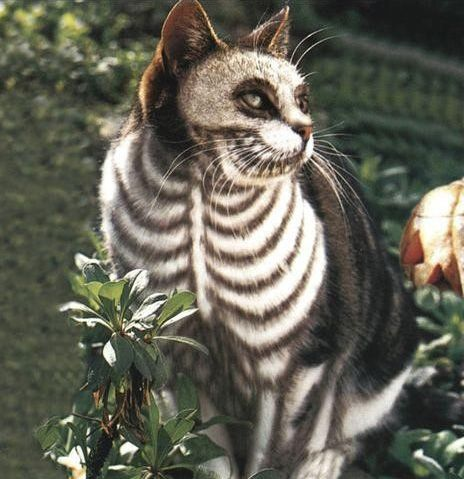"""""""The SkeleCat"""" *A costume for Halloween made with vegetable dye and neutralized bleach.* [Source: 4.bp.blogspot.com] [Photo source: http://www.buzzfeed.com/amandam10/15-wacky-pet-dye-jobs-hot-or-not-1kzg#]"""