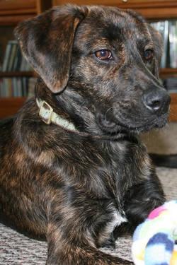 plott hound mix - Google Search