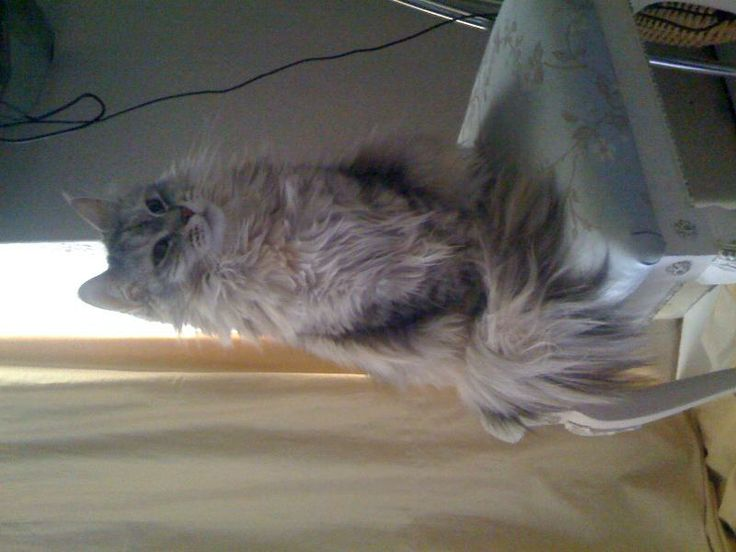 Lost on 26/04/2014 @ 18a Eardley Rd Streatham/London SW16 6BP. Our silver/grey maine coon cat who is 4 years old went missing yesterday afternoon (26/04/14). If you have seen her please call 07503792290. Reward for the person who finds her. Visit: https://whiteboomerang.com/?show=1s356yk (Posted by Tuuli on 27/04/2014)