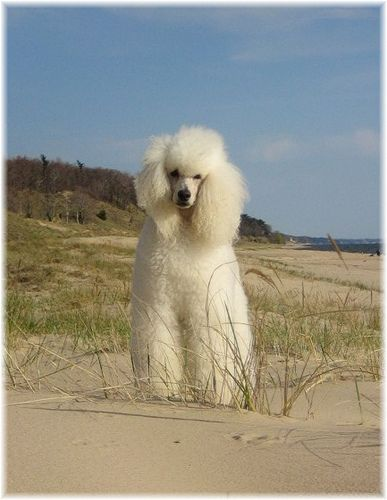 White Standard Poodle at the beach