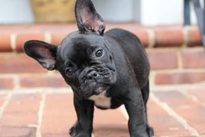 Hues of Blue French Bulldogs