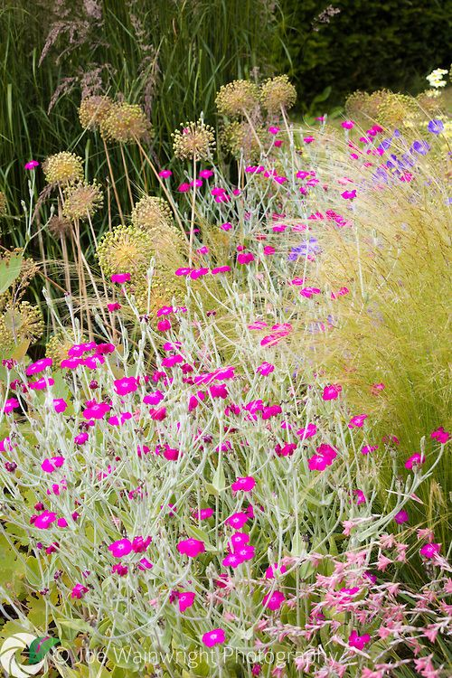 A Lychnis coronaria merges with a froth of grasses and allium seed heads at Bluebell Cottage Gardens, Cheshire - photographed in July.