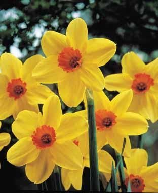 15 best spring flowers images on pinterest daffodils spring narcissus birma birma is a clump forming bulbous perennial with orange cupsspring bulbsdaffodilstulipsspring mightylinksfo Gallery