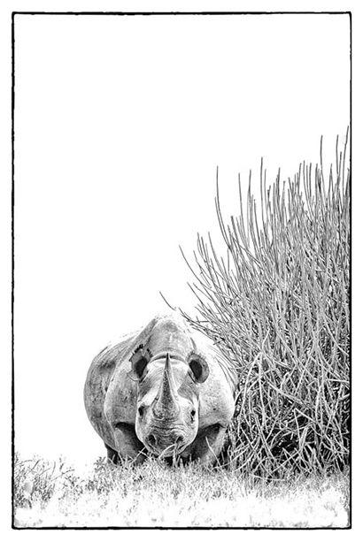print of a desert adapted black rhino in Namibia