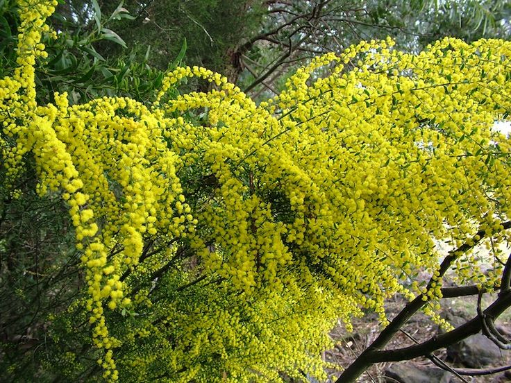 Acacia acinacea (Gold Dust Wattle) grows naturally across