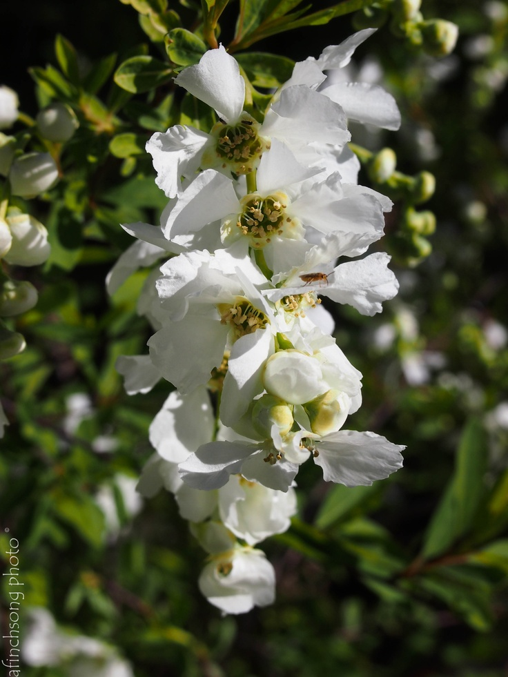 176 best images about flowering shrubs on pinterest for White flowering bush