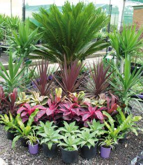 Tropical plants sago palm cordylines agaves plants for Tropical flower garden landscape designs