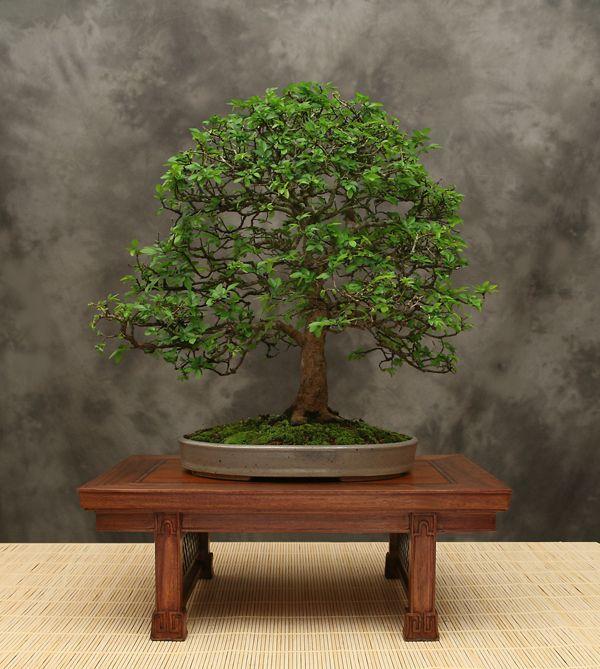 Chinese Elm Bonsai