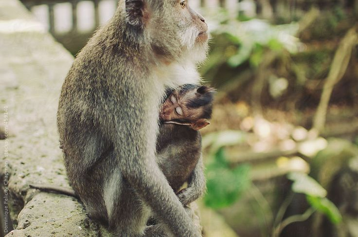 Mother and baby monkey cuddling by DominiqueFelicityPhotography | Stocksy United