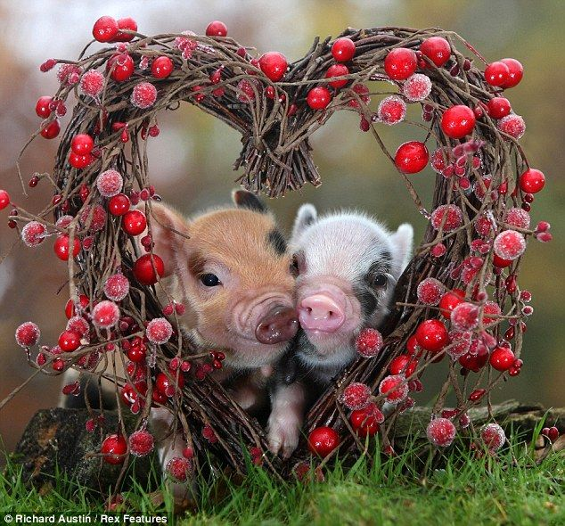 Adorable teacup pigs