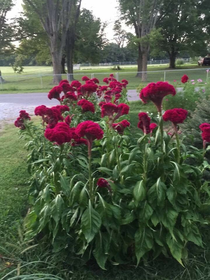 Giant Red Crested Cockscomb Celosia 100 Seeds Rare Huge Flowers In One Season Summer Plants Plants Cool Plants