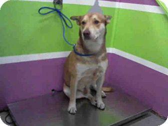 Houston, TX - German Shepherd Dog/Australian Cattle Dog Mix. Meet CAESAR, a dog for adoption. http://www.adoptapet.com/pet/17280293-houston-texas-german-shepherd-dog-mix