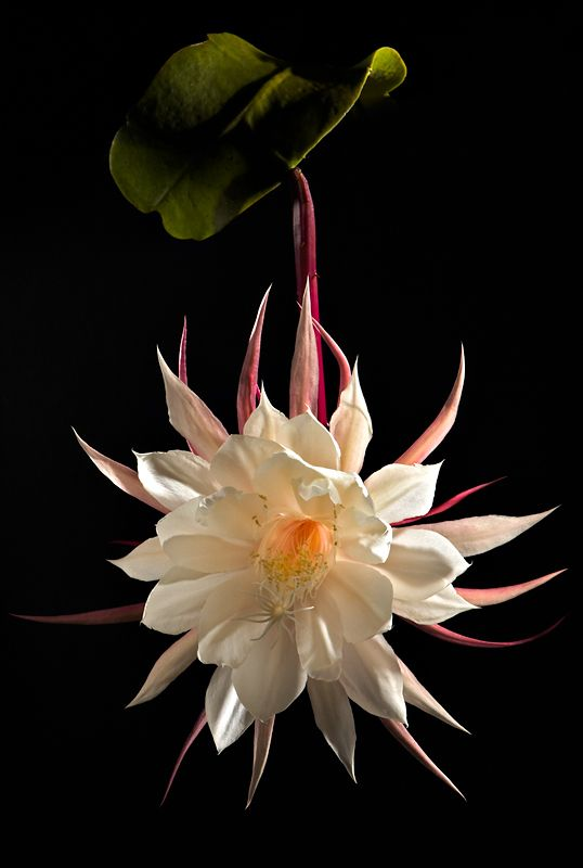 "Queen of the Night by Hans Van Rafelghem. This is classified as a ""night-blooming cereus""."