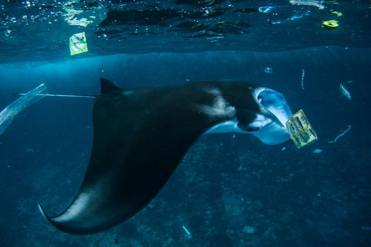 Manta rays are one of the big attractions at Nusa Lembongan, where they can be seen year round.