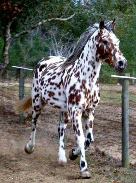 Appaloosa Stallion....Truly one of the most beautiful horses I've ever laid eyes on.