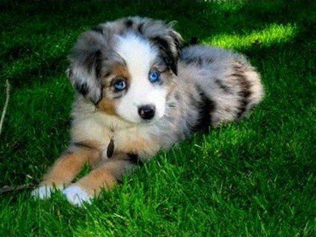 Miniature Australian Shepherd Dog Puppy