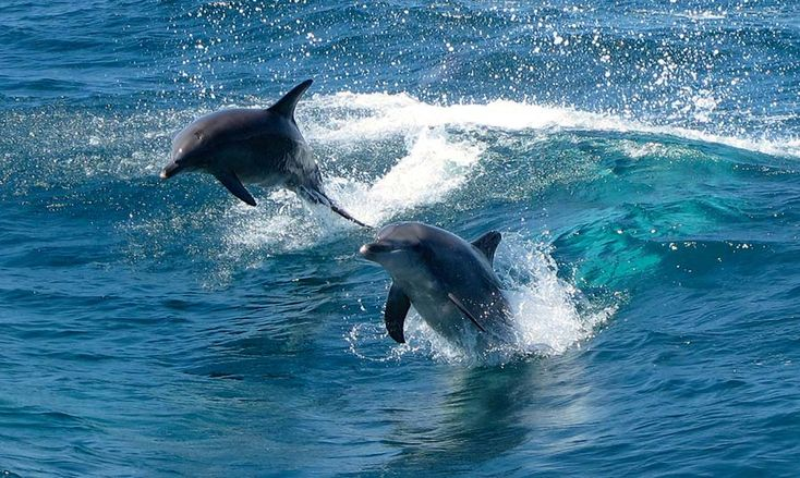 Swim with Dolphins just 30 minutes South of Perth in Western Australia. Rockingham Wild Encounters, Enjoy the Freedom with your Dolphin Swim