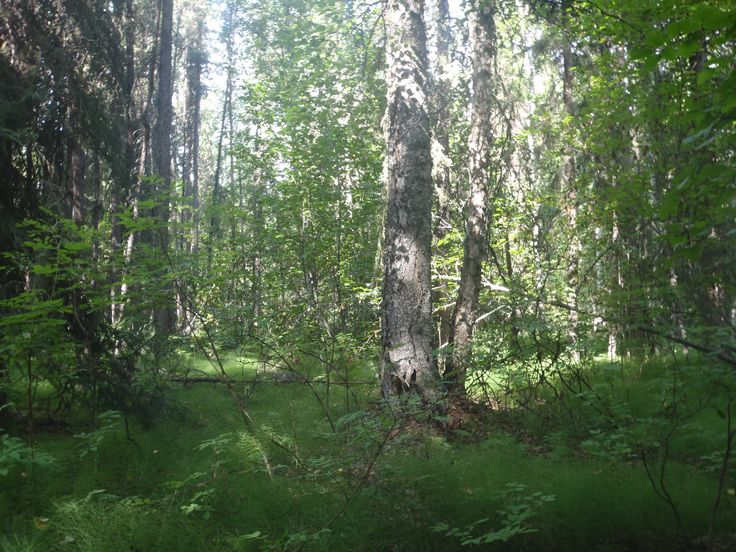 Birch_Spruce_Forest.JPG 3,968×2,976 pixels