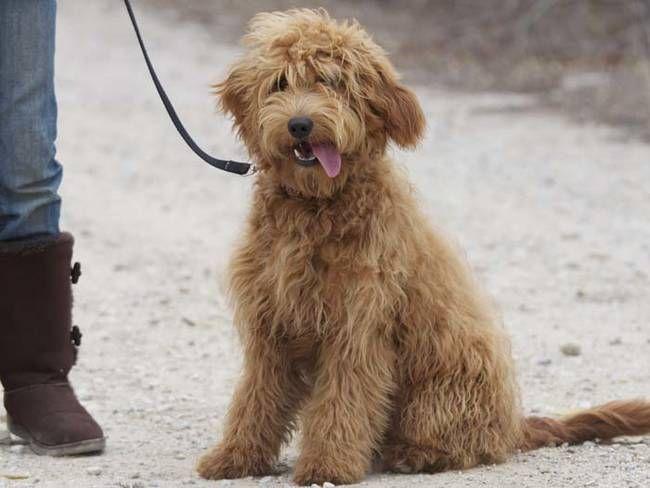 Golden Retriever + Poodle = Golden Doodle