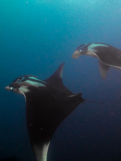 giant manta ray by liquid lense water world pinterest