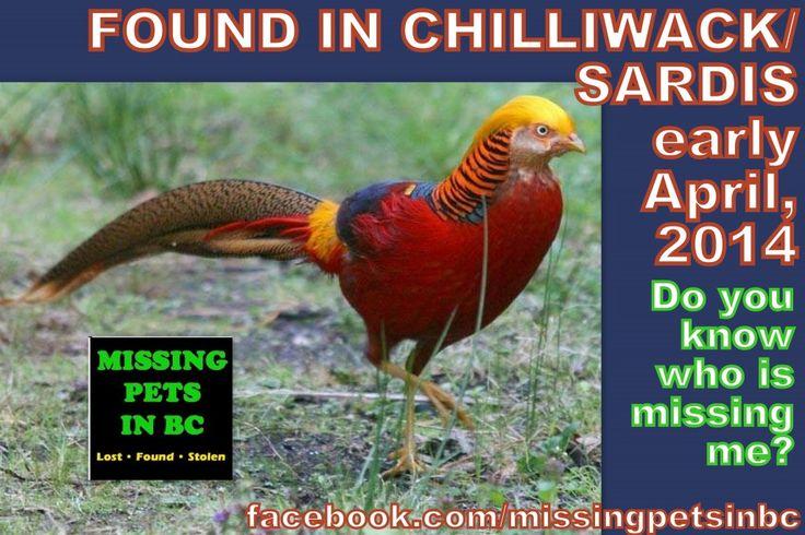 found golden pheasant bird in chilliwack