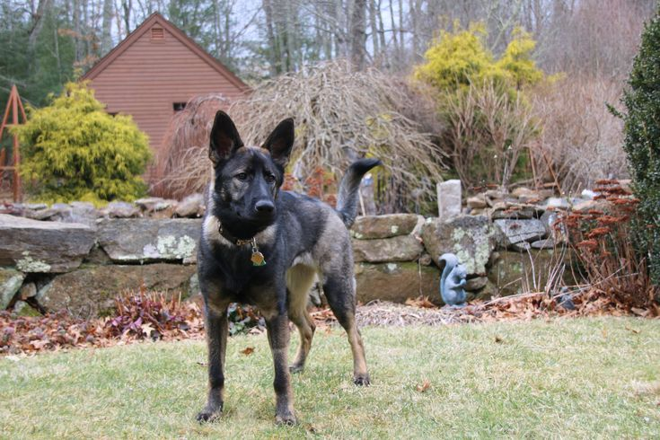 Sable german shepherd puppies for sale in texas