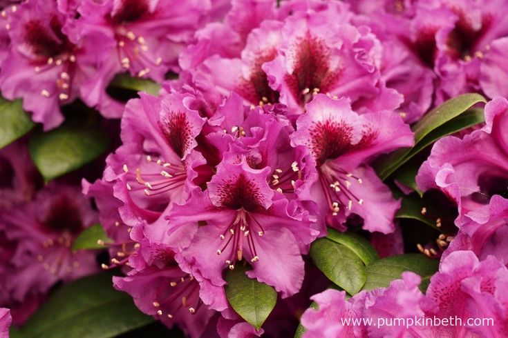 During late May and early June Rhododendron 'Hachmann's Orakel' produces dark purple flowers, which feature a distinctive, blackberry coloured blotch.