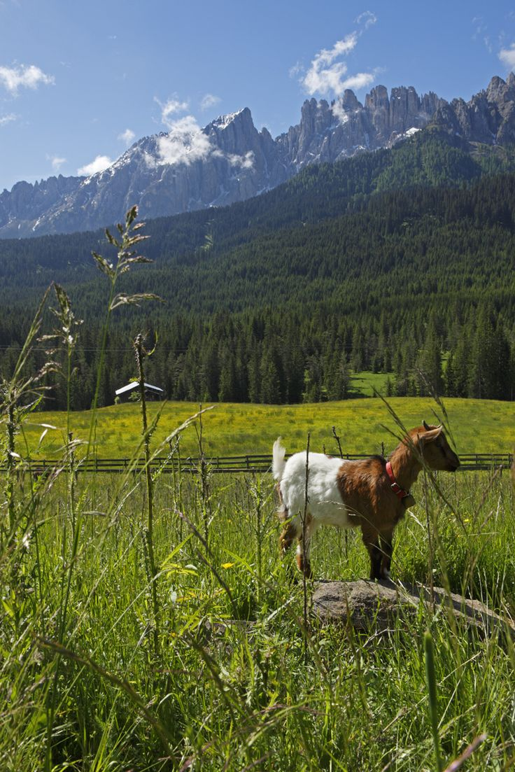 What a life: happy goat! Farm stay in South Tyrol (Italy) Roter Hahn - Red Rooster