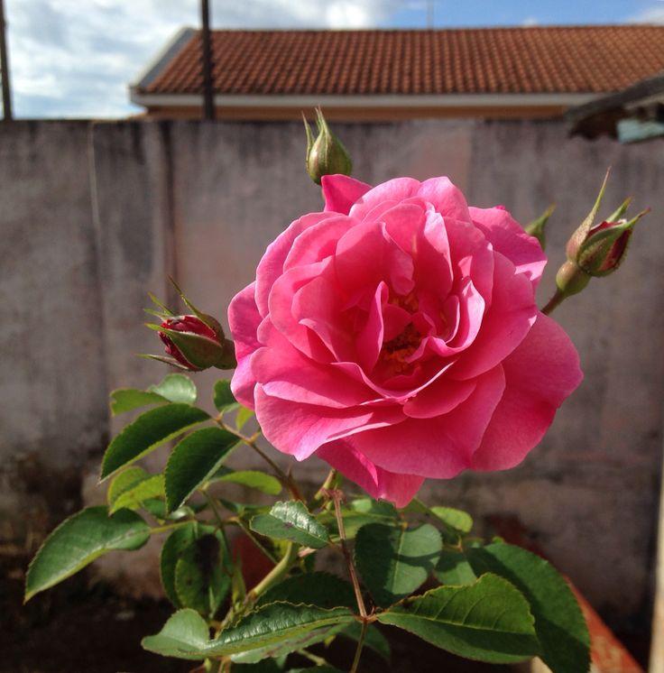 Rosa aberta de casa