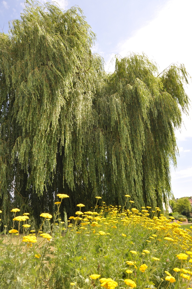 weeping willow tree A weeping pussy willow tree is a beautiful addition to a garden here are care tips to keep this small, attractive tree healthy & looking its best the post and video i did about the pruning of a weeping pussy willow has been surprisingly popular, to myself anyway, so i decided it was time to share.