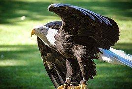 Bald Eagle, Tagged, Wildlife, Nature