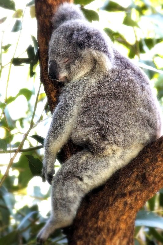 I don't think any animal can ever look as relaxed as a Koala sleeping.