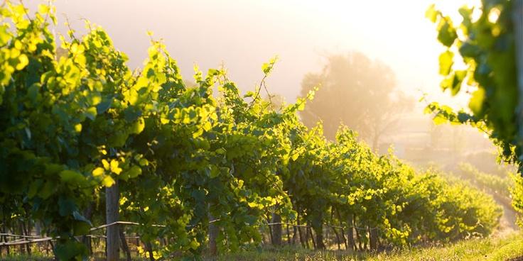 Vineyard at the Hunter Valley.  #chateauelan #huntervalley #australia #nsw #winecountry #vineyard #wedding