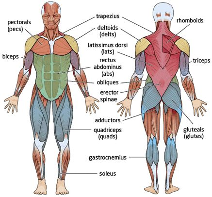 10 best images about muscle skeletal on pinterest | the shoulder, Muscles