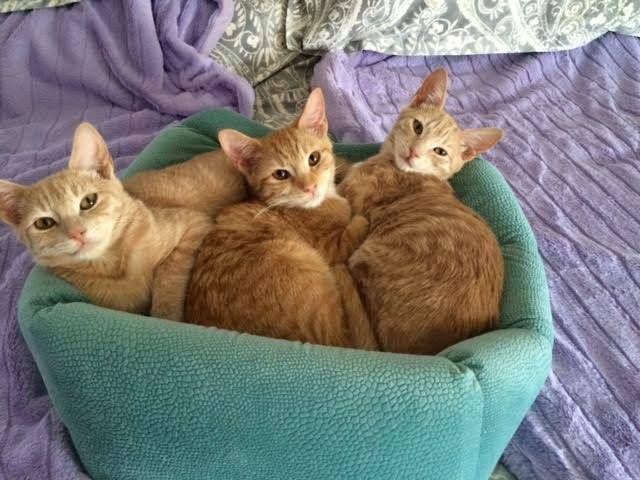 Sponsor Rescued Ginger Kitten Sisters Vet Feed Feral Cats Receive