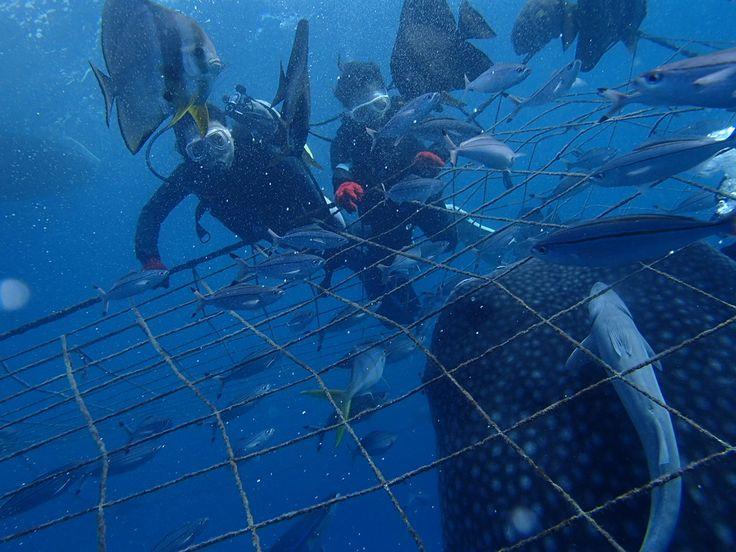 ジンベエザメと一緒に体験ダイビングと青の洞窟シュノーケル! - http://www.natural-blue.net/blog/info_229.html