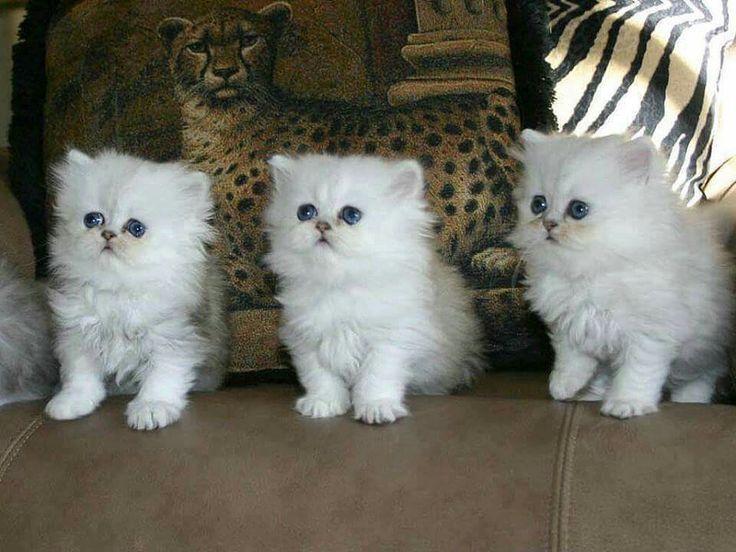 Very Funny Persian Cat