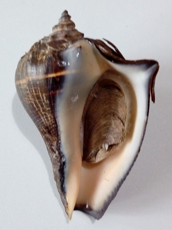 Conchiglia Shell MELONGENA PATULA W/O Panama 84,8 mm # HUGE & HEAVY   eBay!