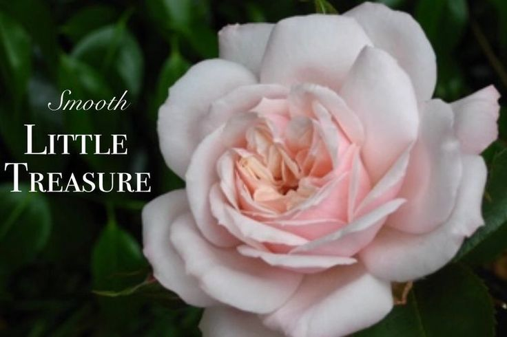Grown To Be Gorgeous - Roses, Grown to Be Gorgeous, Local Nurseries