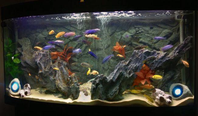 Malawi cichlid tank fish tank ideas pinterest malawi for Cichlid fish tank