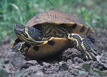Yellow-bellied slider - Wikipedia, the free encyclopedia