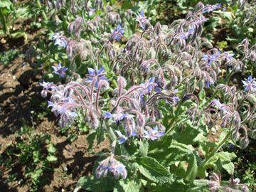 Borago officinalis L. - Borragem - planta medicinal e pode beneficiar o cultivo de tomates, morangos, espinafre e outras plantas.